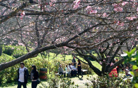 Festa da Cerejeira em Flor acontece em Julho e Agosto em Campos do Jordão