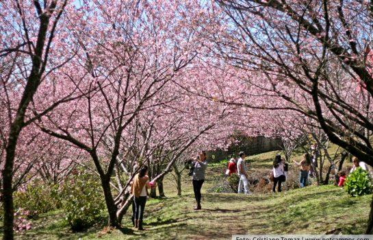 Festa da Cerejeira em Flor leva Cultura e Gastronomia japonesa para Campos do Jordão