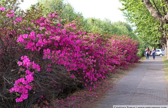 Flores colorem a paisagem da Primavera em Campos do Jordão