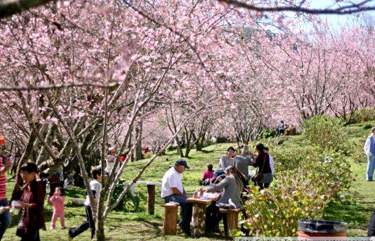 Festa da Cerejeira celebra cultura e gastronomia japonesa em Campos do Jordão